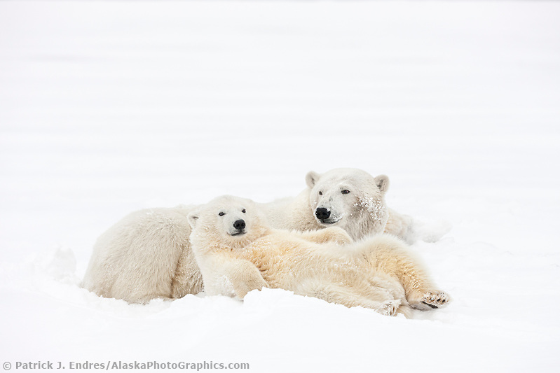 Polar bear sow and cub relax in the snow on an island in the Beaufort Sea, Arctic, Alaska. (Patrick J Endres / AlaskaPhotoGraphics.com)