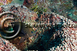 Longfin Damselfish, Stegastes diencaeus, Grand Cayman (StevenWSmeltzer.com)