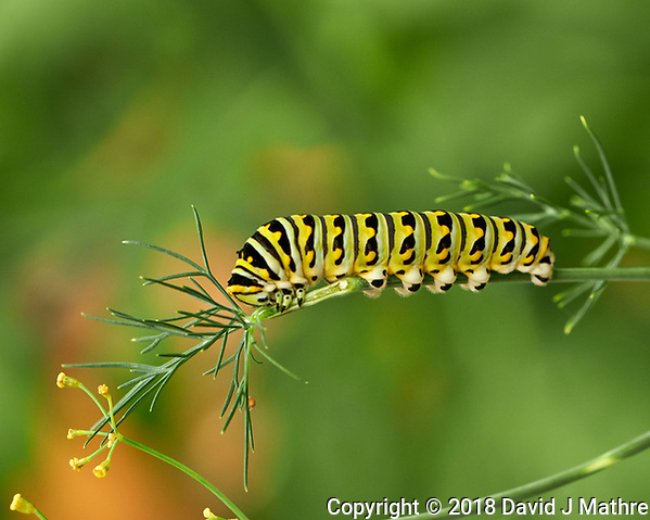 Caterpiller Eating My Dill. Image taken with a Fuji X-H1 camera and 80 mm f/2.8 macro lens. (DAVID J MATHRE)
