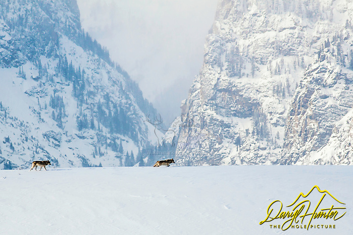 Wolves moving through the landscape in Grand Teton National Park in Jackson Hole Wyoming, Death Canyon is the landmark in the background (© Daryl L. Hunter - The Hole Picture,/Daryl L. Hunter)
