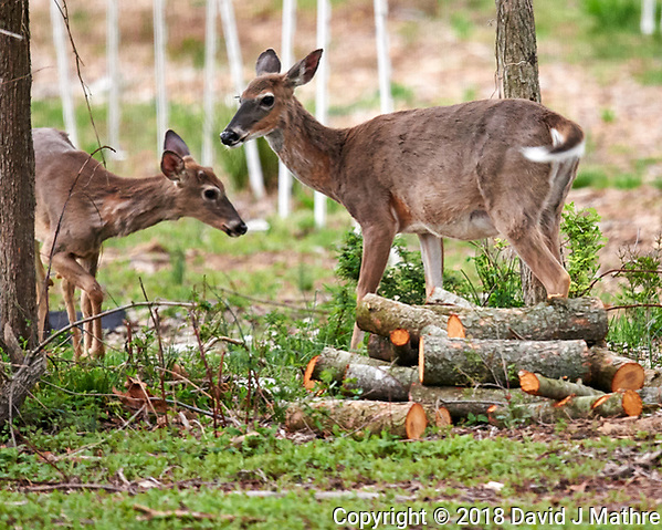 Wary Pair of Deer. Image taken with a Nikon D4 camera and 600 mm f/4 VR telephoto lens (David J Mathre)
