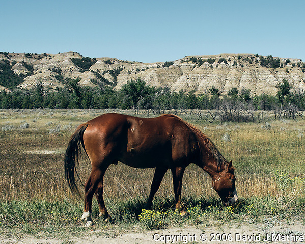 Wild horse eating grass. Image taken with a Nikon D200 camera and 18-75 mm kit lens (ISO 100, 18 mm, f/5.6, 1/400 sec). Raw images processed with Topaz JPG to Raw; Capture One Pro. (David J Mathre)