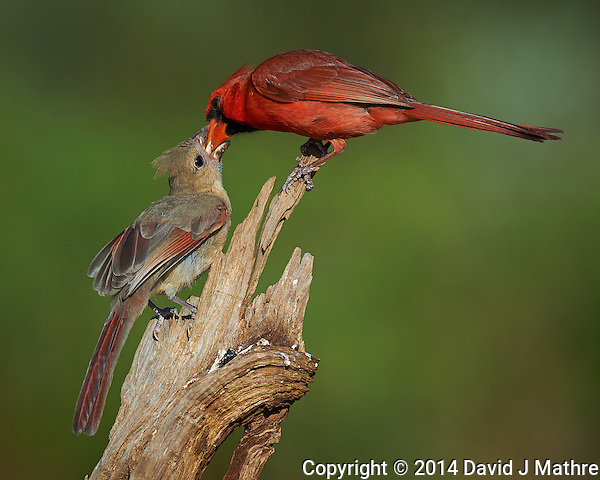 Male Northern Cardinal Feeding Breakfast to a Young Cardinal at Dos Vandas Ranch in Southern Texas. Image taken with a Nikon D4 camera and 600 mm f/4 VR lens (ISO 140, 600 mm, f/5.6, 1/1000 sec. (David J Mathre)