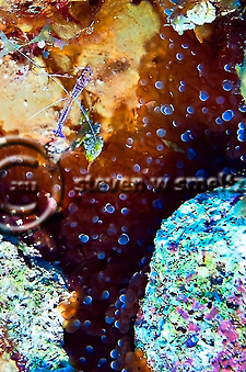 Anemone Shrimp, Periclimenes Yucatanicus and Bubble Tip Anemone, Entacmaea quadricolor, in Grand Cayman (Steven Smeltzer)