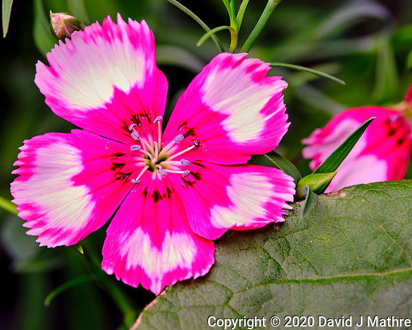AeroGarden Farm 03-Right. Dianthus Bloom. Image taken with a Fuji X-T3 camera and 80 mm f/2.8 macro lens (ISO 200, 80 mm, f/5, 1/60 sec). (DAVID J MATHRE)