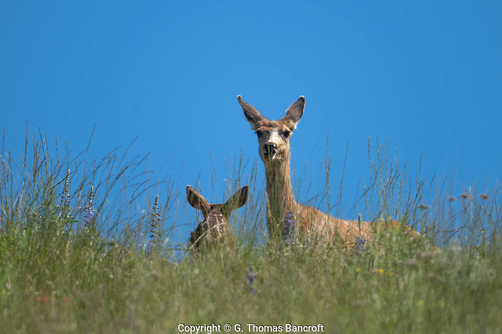 The Mule Deer relaxed her ears as her fawn approached her side but she kept her eyes fixed on me. (G. Thomas Bancroft)