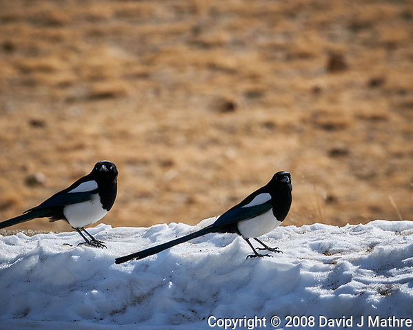 Black-billed Magpie at Rocky Mountain National Park. Image taken with a Nikon D300 camera and 300 mm f/2.8 lens (ISO 200, 300 mm, f/8, 1/640 sec). (David J Mathre)