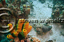 Yellow Tube Sponge, Aplysina fistularia, Grand Cayman (Steven Smeltzer)