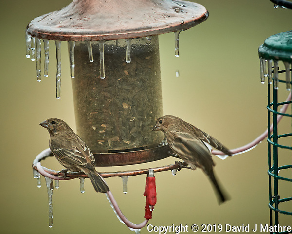 Icicles on the Bird Feeder with a pair of female House Finches. Image taken with a Nikon D5 camera and 600 mm f/4 VRII lens (ISO 1600, 600 mm, f/4, 1/100 sec). (DAVID J MATHRE)