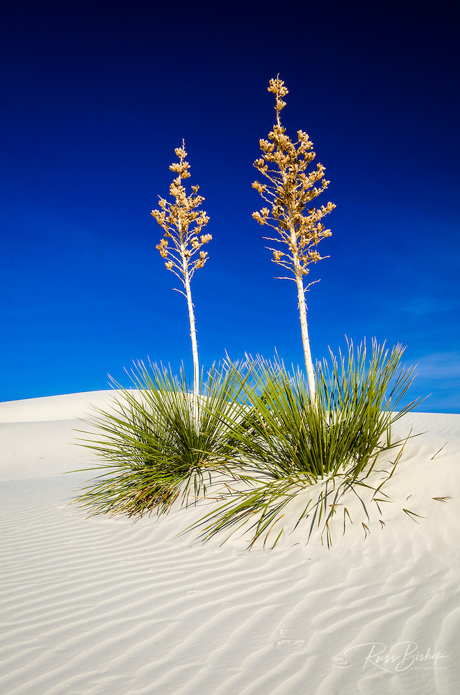 Soaptree Yucca and dunes, White Sands National Monument, New Mexico | ©Russ Bishop
