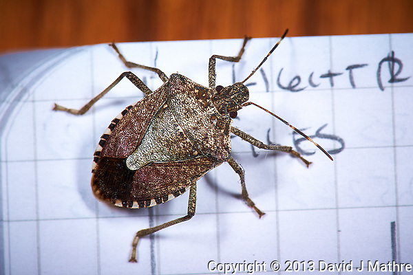 Brown Marmorated Stink Bug - Indoor Spring Nature. Image taken with a Nikon D3s and 105 mm f/2.8 VR macro lens (ISO 200, 105 mm, f/16, 1/60 sec) and ring-flash. (David J Mathre)