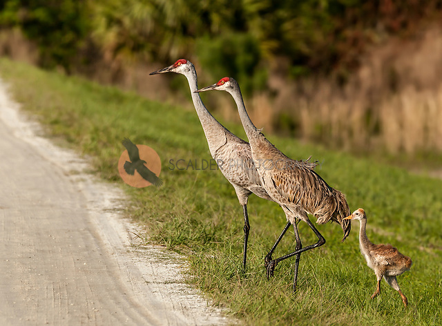 Pair of Sandhill Cranes walking with their Chick in Down feathers (sandra calderbank)