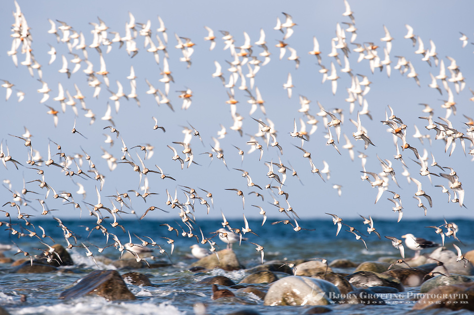 The Sanderling is a small wader, similar in size to a Dunlin. At Revtangen on Jaeren, south west Norway. (Photo Bjorn Grotting)