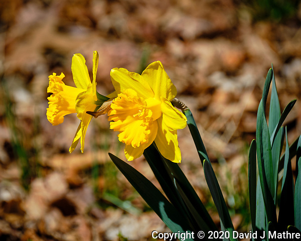 Daffodils. Image taken with a Fuji X-T2 camera and 100-400 mm OIS lens (ISO 200, 400 mm, f/6.4, 1/1250 sec). (David J Mathre)