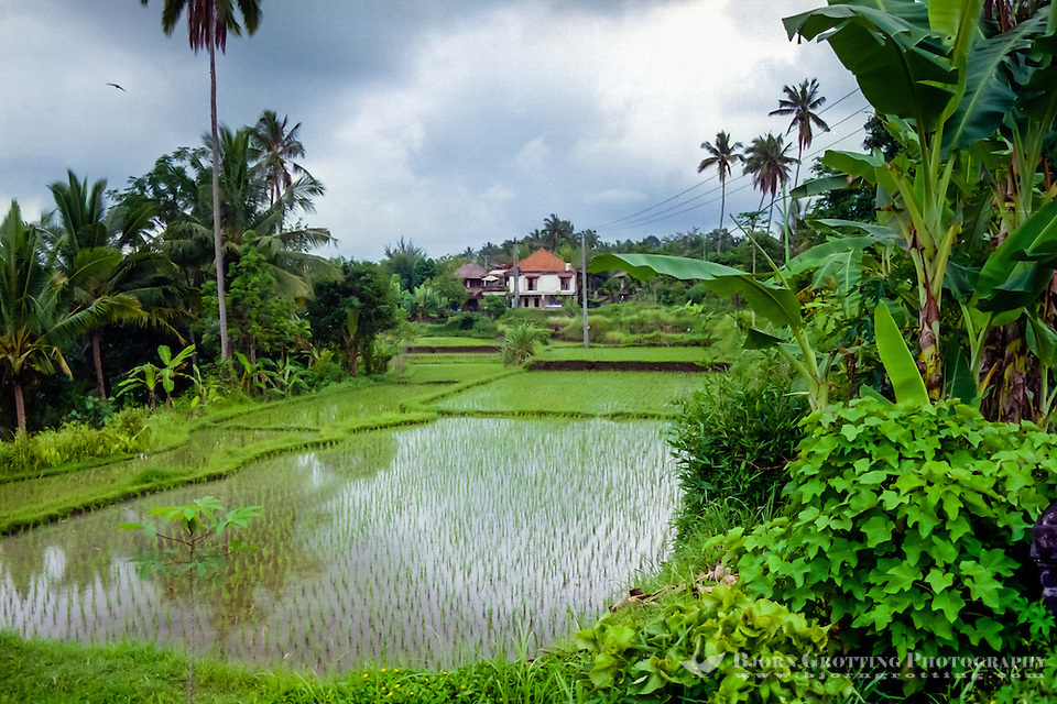 Bali, Gianyar, Ubud. Rice paddies close to Ubud. (Photo Bjorn Grotting)