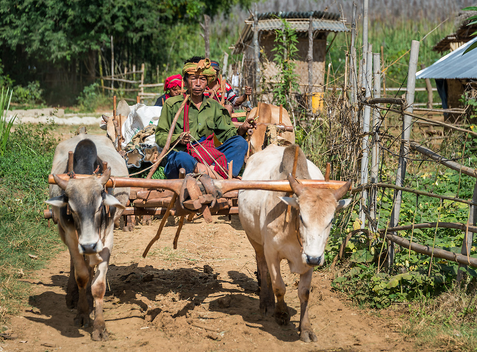 INLE LAKE, MYANMAR - CIRCA DECEMBER 2013: Burmese man riding an ox cart the Taung Tho Market in Inle Lake, Myanmar (Daniel Korzeniewski)