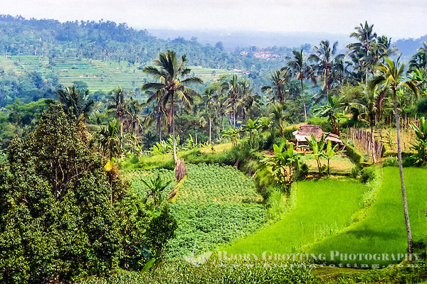 Bali, Tabanan, Bedugul. Rice fields not far from Bedugul. (Photo Bjorn Grotting)