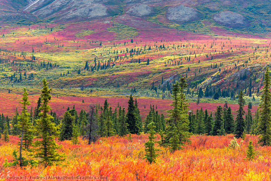 Autumn tundra and taiga, spruce trees and dwarf birch, Denali National Park, Alaska. (Patrick J. Endres / AlaskaPhotoGraphics.com)