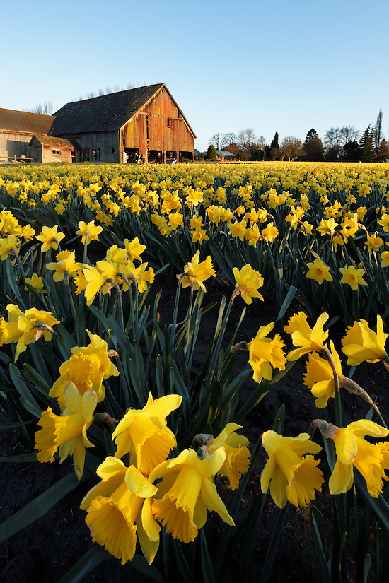 Daffodils blooming on a Skagit Valley farm, Skagit County, Washington