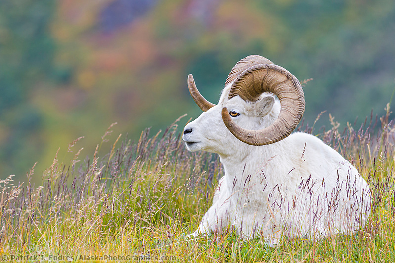 Dall sheep ram on a mountain ridge in Denali National Park, interior, Alaska. (Patrick J. Endres / AlaskaPhotoGraphics.com)