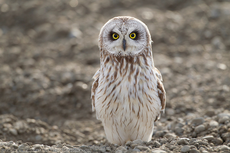 Alaska bird photos: An inquisitive short-eared owl stares intently while standing on the a surface on Alaska's arctic north slope. (Patrick J. Endres / AlaskaPhotoGraphics.com)