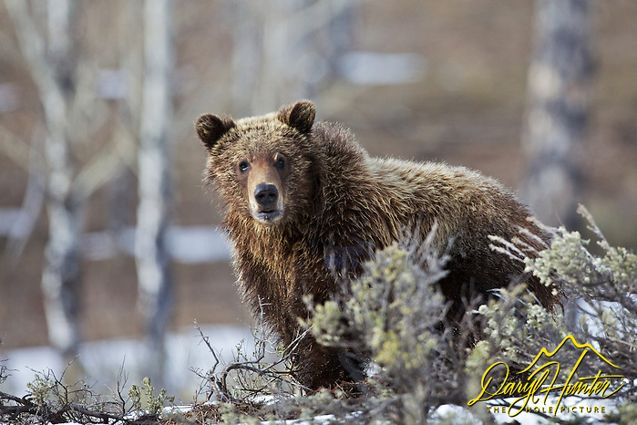 Why the long face? Grizzly Bear, Grand Teton National Park ( Daryl Hunter's &quot;The Hole Picture&quot;/Daryl L. Hunter)