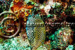 Honeycomb Cowfish, Acanthostracion polygonius, Poey, 1876, Grand Cayman (StevenWSmeltzer.com)