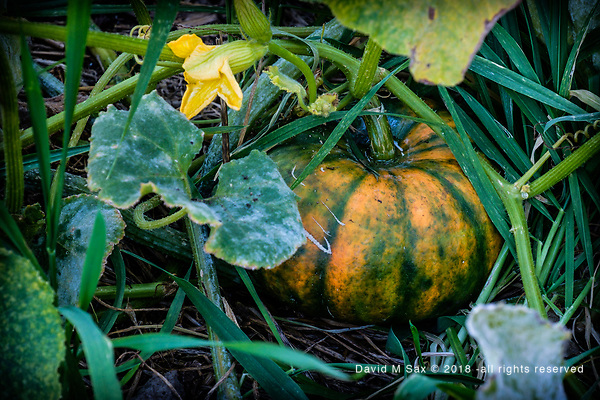 9.25.18 - In the Patch.... (© David M Sax 2018 - all rights reserved)