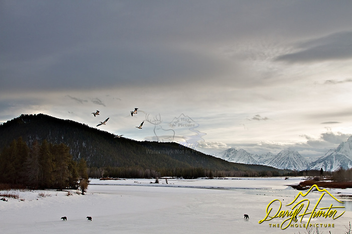 "Four Grizzly Bears, 610 and he cubs at Oxbow Bend inGrand Teton National Park. The Grand Tetons in the distance and pelicans flying overhead, what move could a photographer want. (© Daryl Hunter's ""The Hole Picture""/Daryl L. Hunter)"