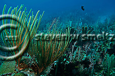 Coral garden, slit-pore sea rods, sponges, hard coral, star coral, Grand Cayman (Steven Smeltzer)