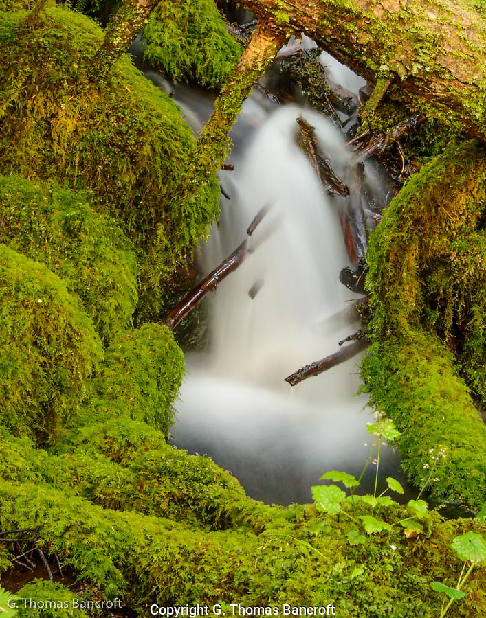 The upper reaches of Ridley creek was deep in a lush hemlock forest.  Moss covered the rocks and branches near the creek in a lush carpet of green.  The water tumbled over rocks and under logs and moss bridges.  I liked how the moss framed this particule cascade. (G. Thomas Bancroft)