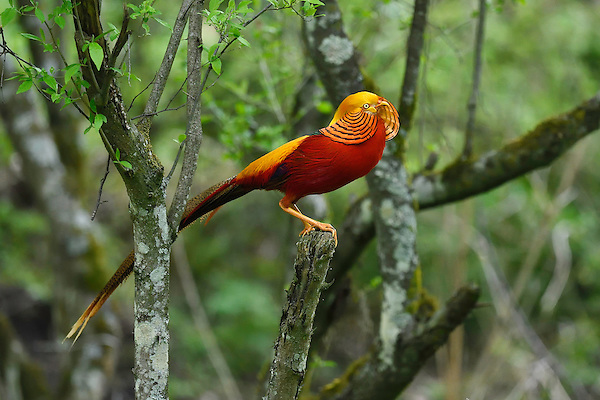 Golden Pheasant, Chrysolophus pictus, Tangjiahe National Nature Reserve, NNR, Qingchuan County, Sichuan province, China. Endemic species for China (Staffan Widstrand)