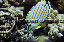 Ornate Butterfly Fish, Chaetodon ornatissimus, Cuvier, 1831, Maui Hawaii, (Steven Smeltzer)