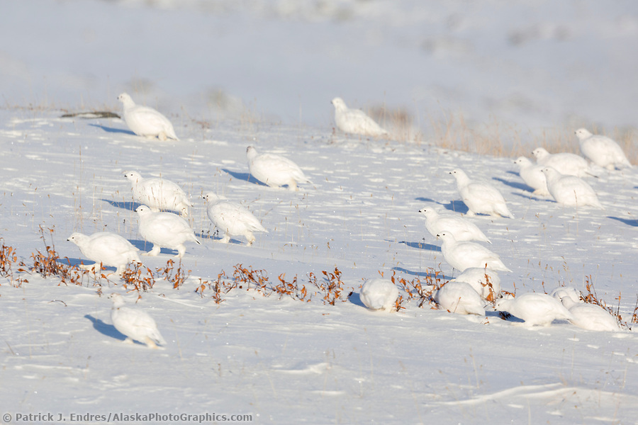 Willow ptarmigan on the snowy tundra of the Alaska arctic. (Patrick J Endres / AlaskaPhotoGraphics.com)