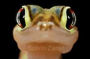 Der kleine (etwa 10-12 cm große) Wuestengecko (Palmatogecko rangei) erscheint nachts an der Oberfläche der Sanddünen der Namib Wüste, wo er auf Jagd nach z.B. Spinnen und Heuschrecken geht.  Sein zierlicher Körper ist blaß und erscheint fast durchsichtig. Die riesigen Augen ermöglichen das Auffinden der Beute im Dämmerlicht und die Schwimmhäute an den Füßen helfen nicht nur beim Laufen auf der lockeren Sandoberfläche, sondern dienen als Paddel beim Abtauchen in den Sand. | Web-footed gecko Gecko (Palmatogecko rangei) on sand dune in the Namib Desert (Solvin Zankl)