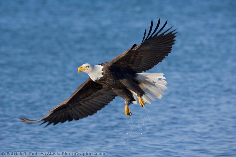 Bald Eagle, Homer, Southcentral Alaska (Patrick J. Endres / AlaskaPhotoGraphics.com)