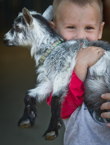Three year old, Colton Ryan, with a Nigerian dwarf goat during the first day entries at the Alaska State Fair (Clark James Mishler)