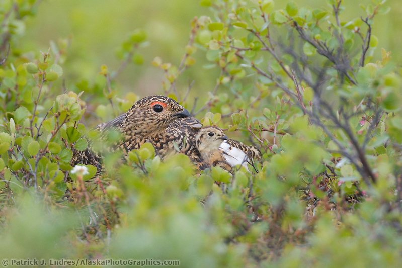 Female ptarmigan with chick on summer tundra, Denali National Park, Alaska (Patrick J. Endres / AlaskaPhotoGraphics.com)