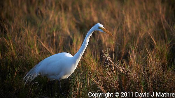 Great Egret Hunting. Black Point Wildlife Road, Merritt Island Wildlife Preserve, Florida. Image taken with a Nikon D3s and 200-400 mm f/4 VR lens (ISO 200, 400 mm, f/4, 1/800 sec). (David J Mathre)