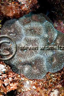 Spiny Flower Coral, Mussa angulosa, Grand Cayman (StevenWSmeltzer.com)