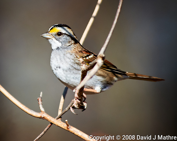 White-throated Sparrow. Image taken with a Nikon D300 camera and 80-400 mm VR lens (ISO 200, 400 mm, f/5.6, 1/500 sec). (David J Mathre)