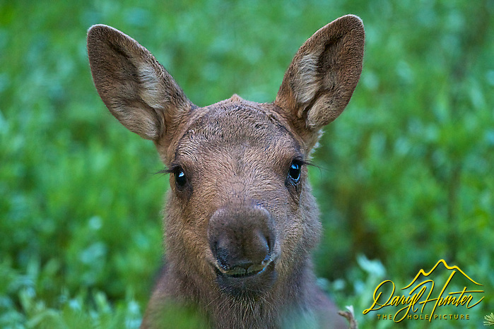 "Moose Calf Portrait, this little girl must have spent hours in makeup before posing for me for our session in Yellowstone National Park. (Daryl Hunter's ""The Hole Picture""/Daryl L. Hunter)"