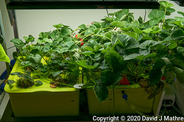 Hydroponic Tub 01-02. Strawberry Plants (85 days). Image taken with a Leica TL-2 camera and 35 mm f/1.4 lens (ISO 250, 35 mm, f/8, 1/50 sec). (DAVID J MATHRE)