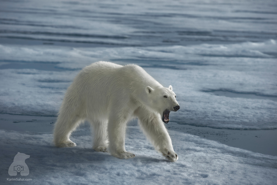 Polar Bear Yawning, Svalbard (Karim Sahai)