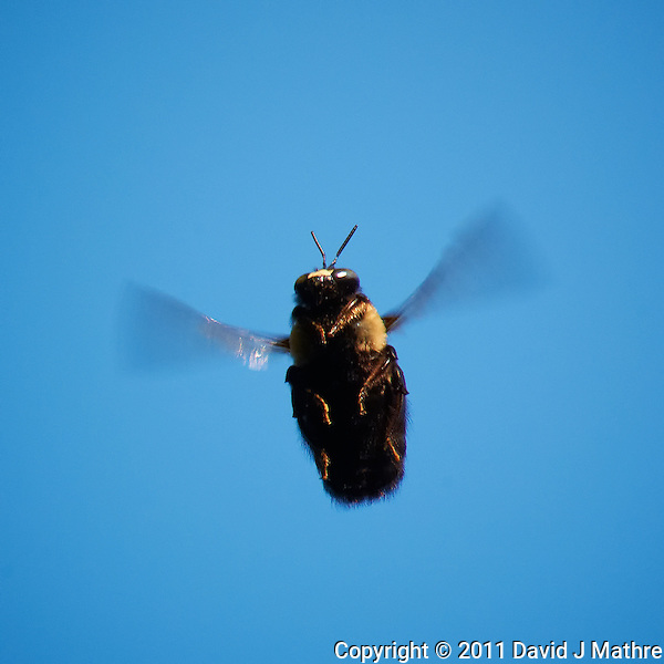 Male Eastern Carpenter Bee Guarding Territory. Image taken with a Nikon D3x and 105 mm f/2.8 AF-S VR Macro + TC-E 20 teleconverter (ISO 800, 210 mm, f/13, 1/640 sec). Raw image processed with Capture One 6 Pro, Focus Magic, Nik Define 2, and Photoshop CS5. (David J Mathre)
