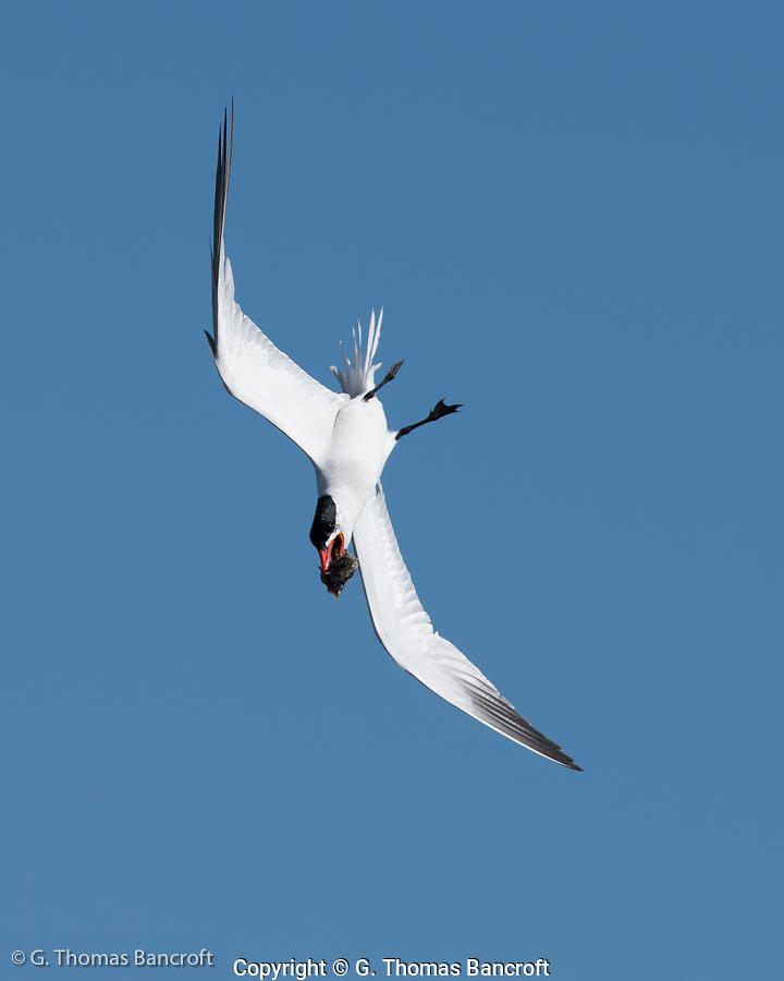 Caspian tern does acrobatic manuvers with a fish in its mouth. It repeatedly fliy over a flock of terns on the beach, occassionally stoping for a few minutes before flying around again. This bending-display is an integral part of courtship. (G. Thomas Bancroft)