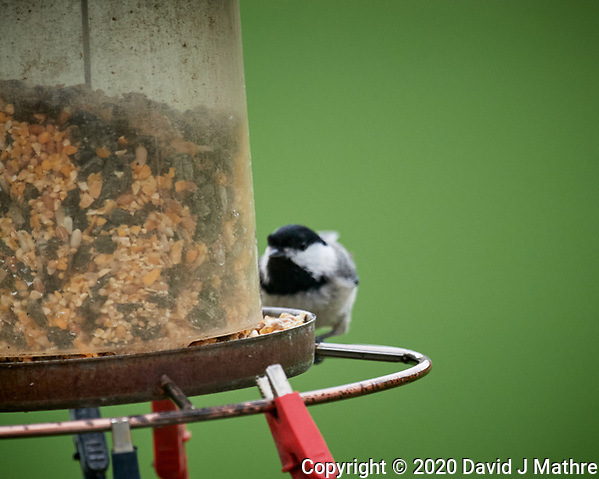 Black-capped Chickadee. Image taken with a Nikon D5 camera and 600 mm f/4 VR lens (ISO 1600, 600 mm, f/5.6, 1/800 sec) (DAVID J MATHRE)