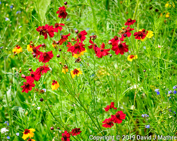 Red Coreopsis. Image taken with a Fuji X-T2 camera and 100-400 mm OIS lens (David J Mathre)