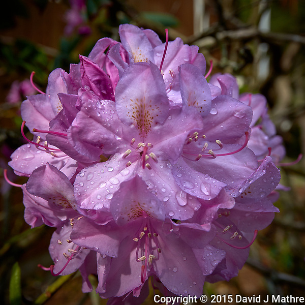 Cluster of Rhododendron Flowers after an early morning rainstorm. Backyard spring nature in New Jersey. Image taken with a Leica T camera and 23 mm f/2.8 lens (ISO 100, 23 mm, f/5.6, 1/500 sec). (David J Mathre)