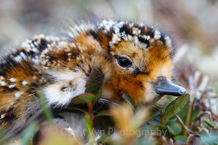 Newly hatched Spoon-billed Sandpiper chick. If it survives, within a couple of months, this young bird will migrate on its own to wintering grounds 6000km away. Chukotka, Russia. July. (Gerrit Vyn)